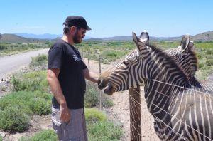 Bergzebras in der Kleinen Karoo