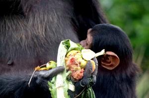 Chimfunshi Chimpansenfarm
