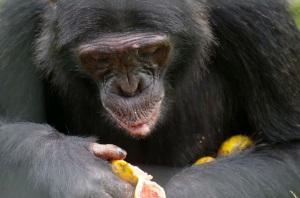 Essenszeit für die Chimpansen
