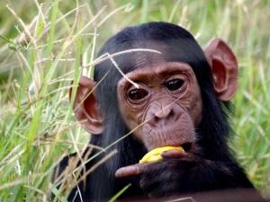 Kleiner Chimpanse