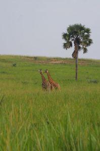 Giraffen im Park